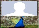 Peacock Photo Montage